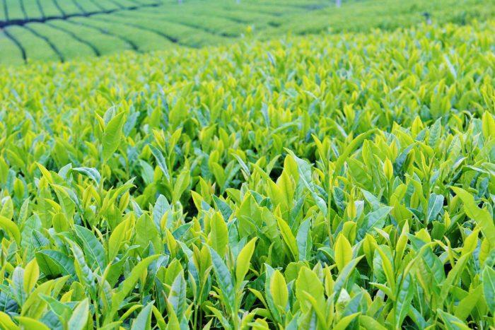 宇治茶販売額、過去10年で最高