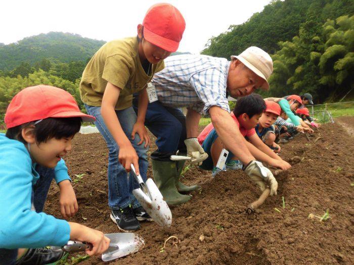 小学生が堀川ごぼうを定植