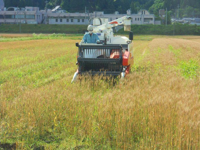 鬼の里農園 小麦収穫開始