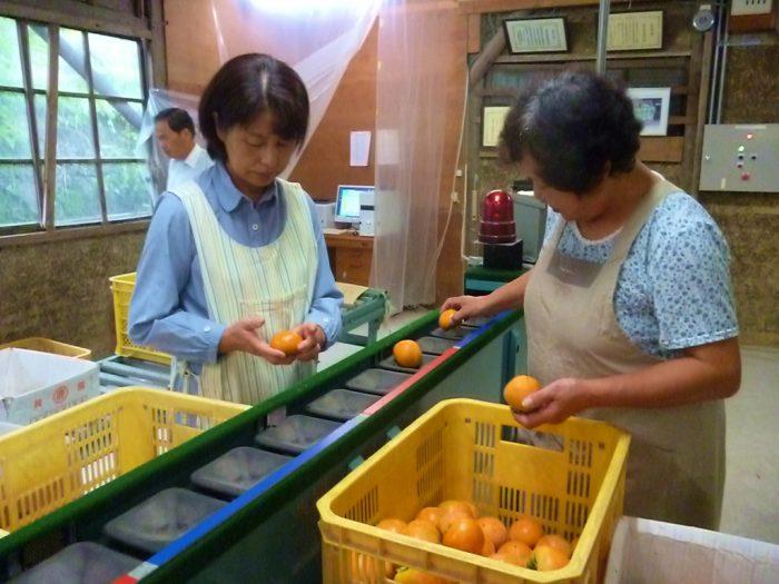 特産柿の出荷始まる