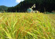 2018年産酒造好適米「祝」の刈取作業が始まる