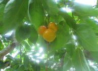 富有柿が色づき始める