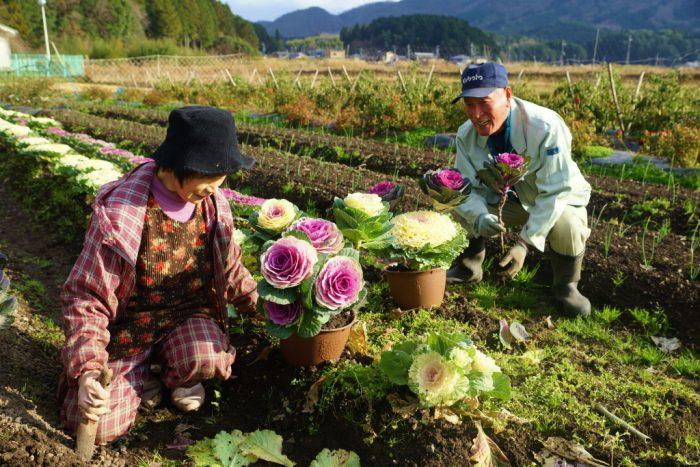 葉牡丹の収穫作業が最盛期