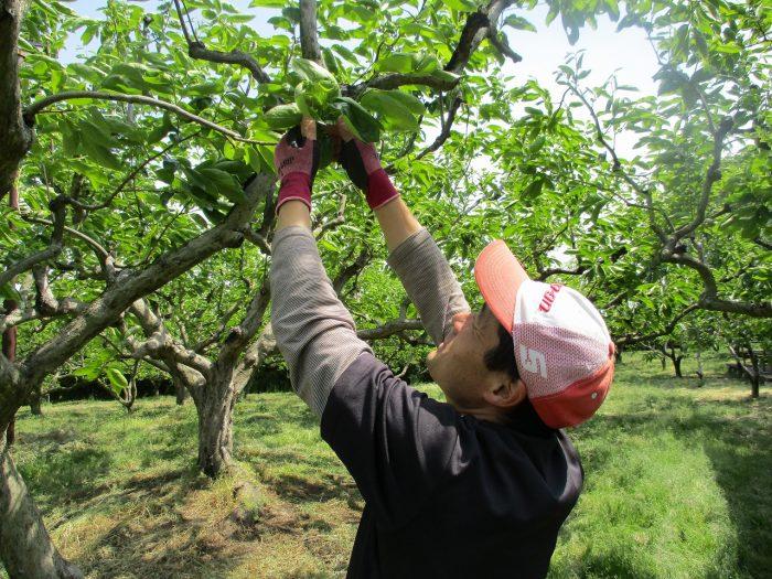 柿の間引き作業開始